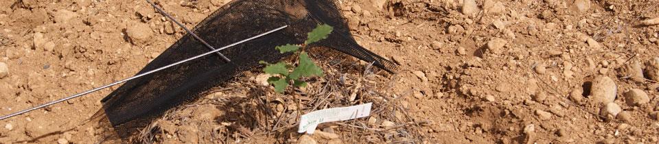 plant chêne truffier - Valensole - Martino