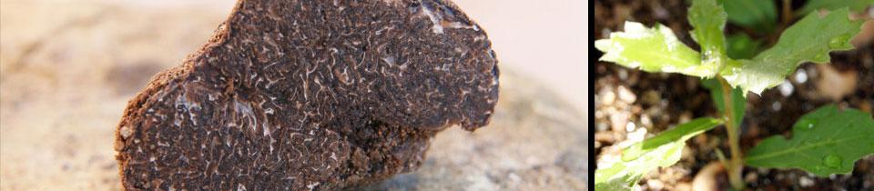 chêne truffier - Valensole - Martino