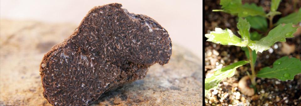 truffe noire en coupe et jeune plant de chêne