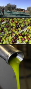 recolte-huile-d-olive