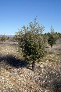 Plant de chêne truffiers